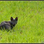 FAU01 - Black Cat