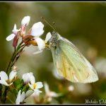 FAU19 - White Butterfly