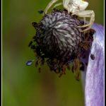 FAU21 - White Spider on flower