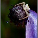 FAU22 - White spider