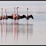 FAU25- Flamingos