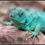 FAU71 - Green bearded Dragon