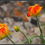 FLO03 - Poppy flowers