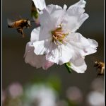 Bee on a plum blossom