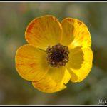 Anemone wildflower