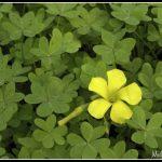 Clover Batch flowers