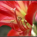 Red beauty lily