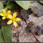 Kingcup Flower