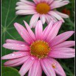FLO035-Argyranthemum flowers
