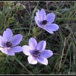 FLO037-Anemone Coronaria