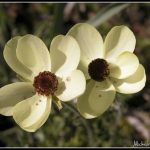 FLO038-Anemones