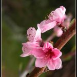 FLO041 - Apple tree blossoms