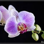 FLO042- Pink Orchid