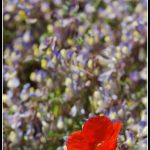 FLO043-Red poppy