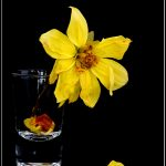 Withered lifeless dahlia flower
